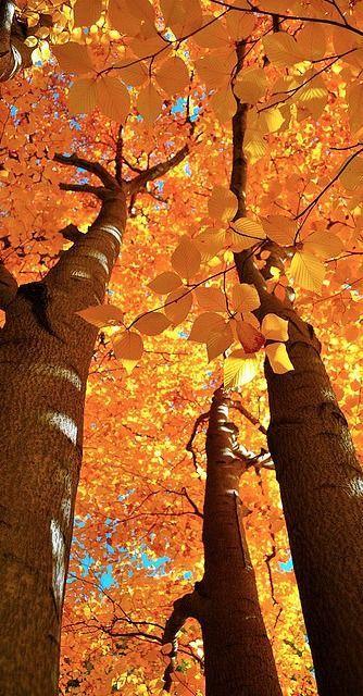 Autumn splendor at Harvard University& Arnold Arboretum in Boston. - Autumn splendor at Arnold Arboretum, Harvard University, Boston, Massachusetts, USA. Photo: Mihir M - Seasons Of The Year, All Nature, Autumn Nature, Nature Pics, Jolie Photo, Autumn Leaves, Autumn Trees, Golden Leaves, Autumn Scenery