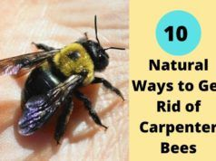 10 Natural Ways To Get Rid Of Carpenter Bees In 2020 Natural Rat Repellent Carpenter Bee Nose Piercing Care