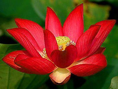 5 Fresh seeds//pink color Bowl lotus//water lily flower //bonsai Lotus