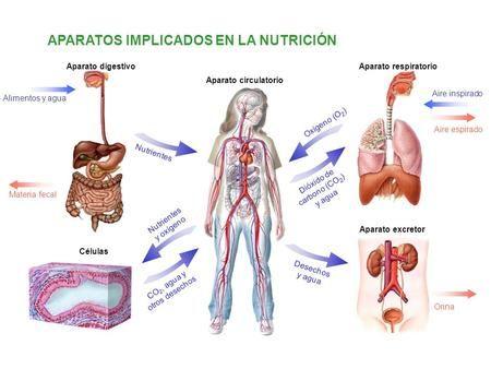 Aparatos Implicados En La Nutricion Fisiologia Sistema Digestivo Humano Intestinos