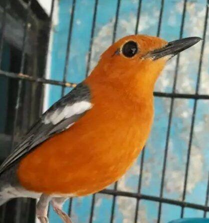 Burung Anis Merah Zoothera Citrina Atau Biasa Disebut Dengan Anis Bata Atau Punglor Merah Yang Merupakan Burung Yang Dikenal Ma Burung Permukaan Laut Habitat