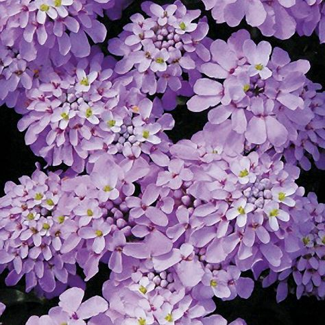 Iberis Candy Cane Lilac Flowers Feed Beautiful Flowers Colorful Flowers