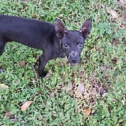 Tampa Fl Chihuahua Meet Zoey A Dog For Adoption Pets Pet
