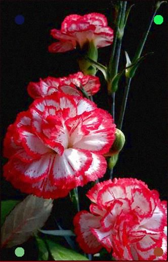 Lovely Flowers Beautiful Flowers Carnation Flower Amazing Flowers