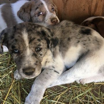 Australian Shepherd German Wirehaired Pointer Mix Puppy For Sale