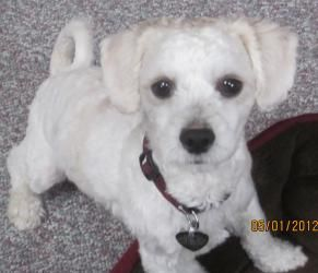 Fluffy Is An Adoptable Maltese Dog In Libertyville Il Fluffy Is