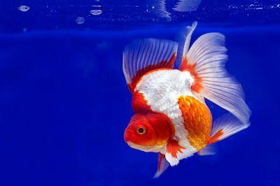 Ikan Mas Koki Ryukin Di 2020 Ikan Mas Ikan Ikan Akuarium