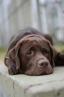 Labrador Retriever In 2020 With Images Labrador Retriever Labrador Retriever Dog Chocolate Labrador Retriever