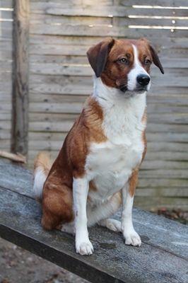 Osterreichischer Pinscher Austrian Pinscher Estrela Mountain Dog Dog Breeds Most Popular Dog Breeds