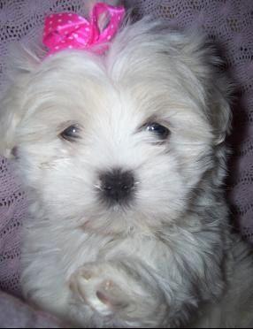 Maltipoo Puppy For Sale In Chesapeake Va Adn 60276 On
