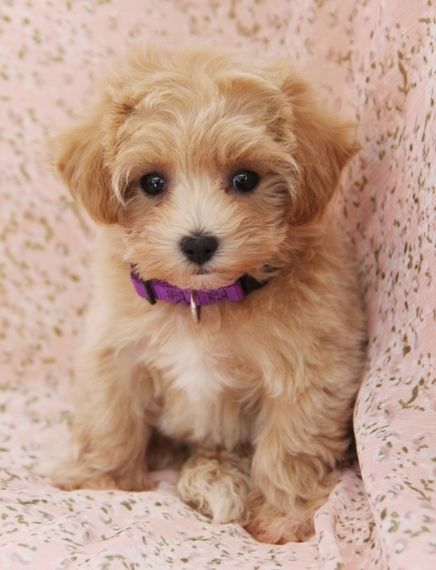 Jazz Maltipoo Puppy Puppies Kitties Puppies Cavapoo Puppies