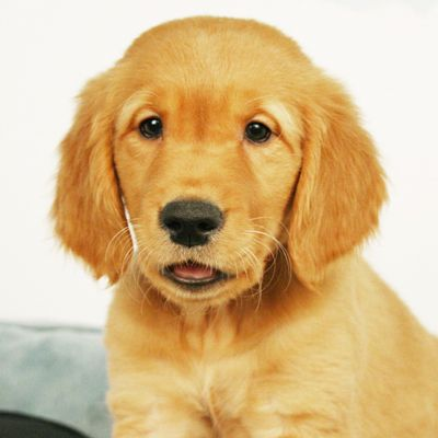 This Adorable Golden Retriever Puppies Says Hello Take Me Home