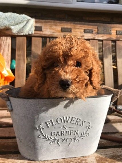 Miniature Poodle Dogs For Sale Adoption From Canberra New South