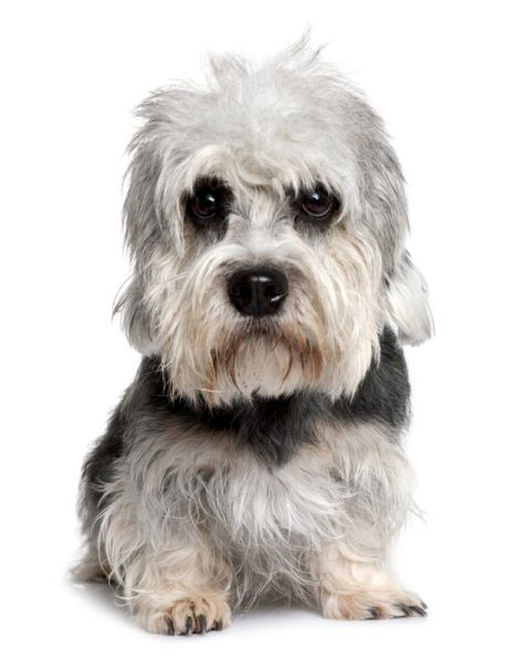 Dandie Dinmont Terrier Puppies For Sale Related Searches Dandie