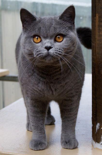 British Blue Shorthair Just Like Chaz Thecat Katzen