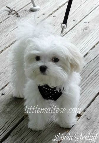 Little Maltese Oh How I Want Another One Maltese Puppy