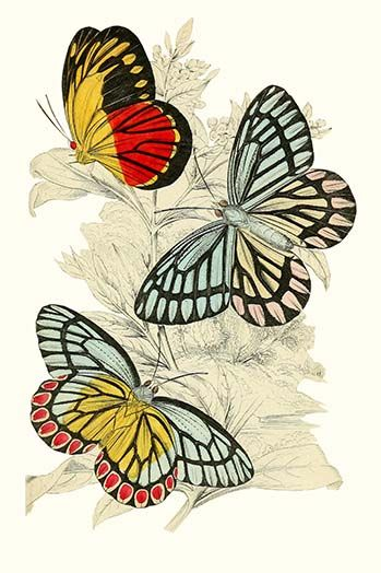 European Butterflies Moths By James Duncan 24 Art Print 9785873228379 Butterfliesandmoths Buye Butterfly Illustration Butterfly Pictures Butterfly Art