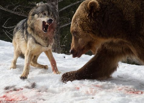 One close-up picture shows one wolf baring its teeth on the blood-stained snow as the bear continues to fight for the deer