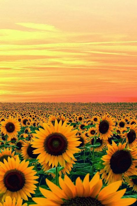 Sunset in Sun Flower Field, Maryland