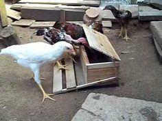 comedouro para galinha  anti pardal e ratos