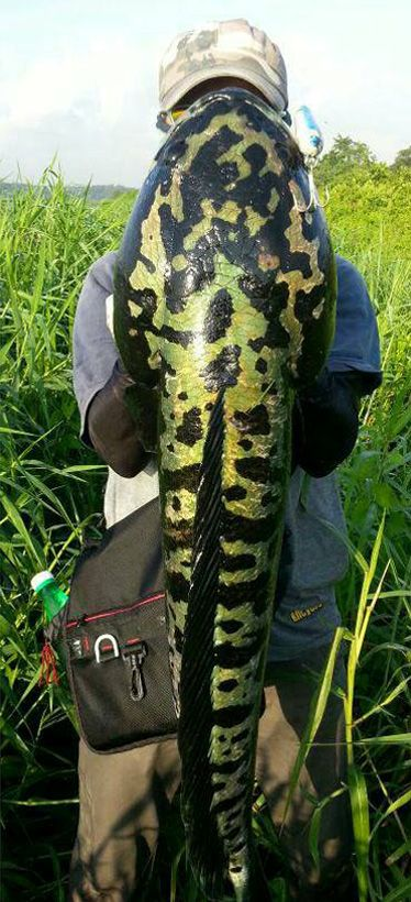 Giant Snakehead Channa Micropeltes Photo Credits Yus Noni