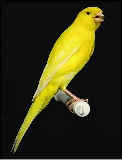 مدونة الطيور الجميلة Exclusive Canary Know All Kinds Of Pictures حصريا تعرف كل أنواع الكناري بالصور Canary Birds Canary Pets