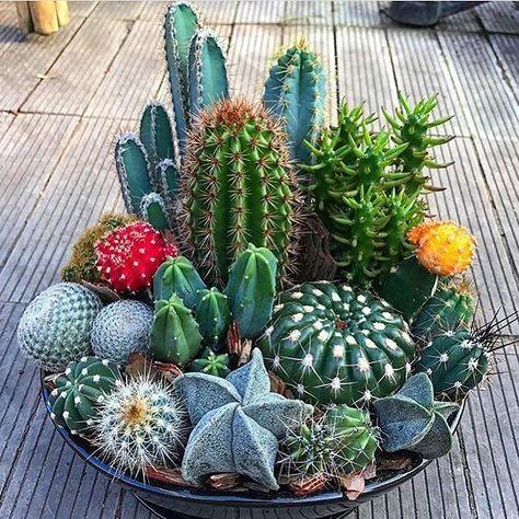 24 beauty cacti and juicy garden ideas for indoor use 4 cactus plants - actually. - 24 beauty cacti and juicy garden ideas for indoor use 4 cactus plants – actually. Mini Cactus Garden, Succulent Gardening, Cactus Flower, Cacti And Succulents, Planting Succulents, Flower Pots, Cactus Cactus, Vegetable Gardening, Glass Cactus