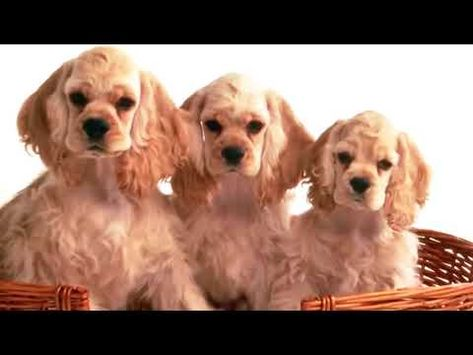 Dogs 101 American Cocker Spaniel Top Dog Facts About The
