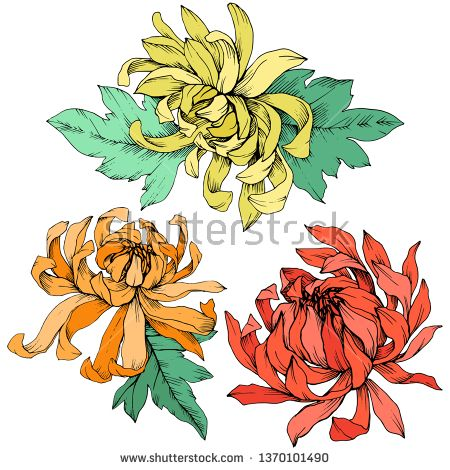 Stock Vector Vector Yellow Orange And Red Chrysanthemum Floral Botanical Flowers Wild Spring Leaf W Red Chrysanthemums Botanical Flowers Flower Illustration
