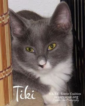 Pictures Of Tiki A Russian Blue For Adoption In Santa Fe Tx Who Needs A Loving Home Kitten Adoption Pet Adoption Pets