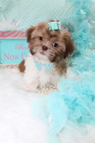 Shih Tzu Puppies Teacup Shih Tzu Shih Tzu For Sale Breeder Teacup Miniature Toy In 2020 Shih Tzu Puppy Shih Tzu For Sale Shih Tzu