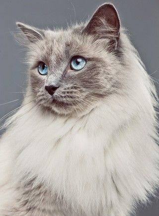 Rag Doll Cat Seal Point Ragdoll Kater Bis 9 5 Kg Katzen Bis 6 5
