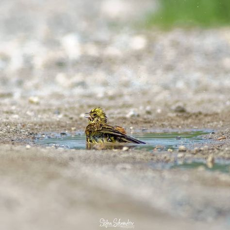How about a bath today? The yellowhammer makes it happen. ------------------------------------------------------------------------ #bird #yellowhammer #wildlife #animaladdicts #animals #bestnatureshots #bestnatureshot #animalovers #animalshots #wildlife_photography  #wildlifelover #wildlife_shots #natureaddict #nature_lover #naturepic #naturelover #nature_shots #gotolove_this #photooftheday #p