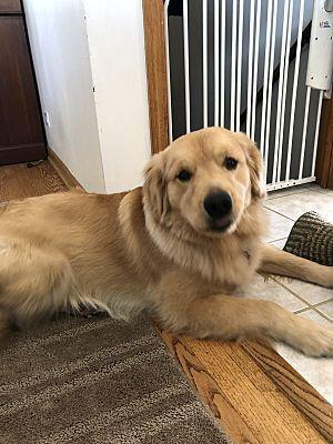 Naperville Il Golden Retriever Meet Bailey A Pet For Adoption