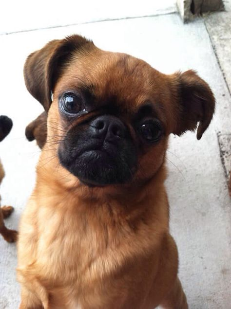 Chipug Griffon Dog Chug Dog Cute Baby Animals