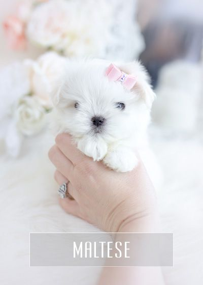 Teacup Puppies Maltese Puppy For Sale Teacup Dog Boutique Teacup