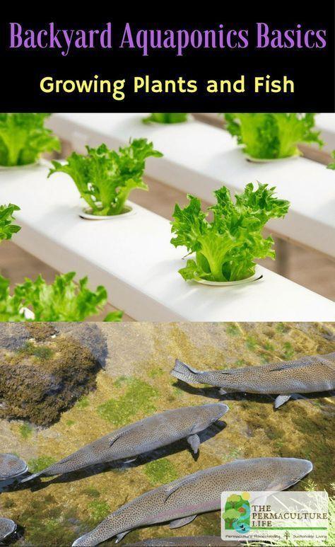 Growing Plants & Fish: Backyard Aquaponics Basics