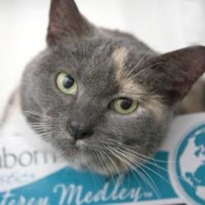 Hilliard Oh Domestic Shorthair Meet Sylvie A Cat For Adoption Pets Cats Adoption