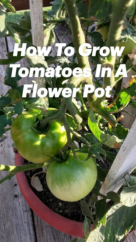 How To Grow Tomatoes In A Flower Pot
