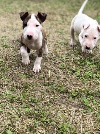 Bull Terrier Dogs Puppies San Antonio Dogs With Images