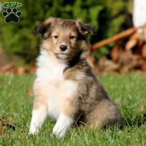 Sheltie Puppies For Sale Shetland Sheepdog Greenfield Puppies In 2020 Sheltie Puppy Sheep Dog Puppy Greenfield Puppies