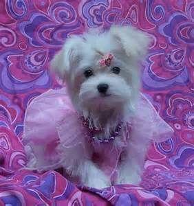 Teacup Maltipoo Puppies For Sale Uk Yorkiexpuppiesforsaleuk