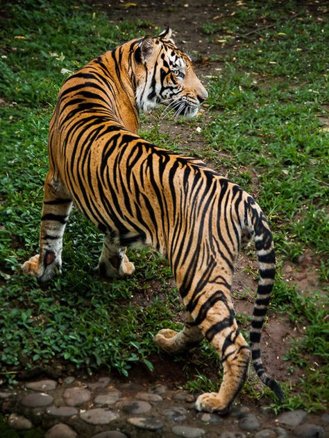 """Tiger: """"S-Curve!"""" (Photo By: Syahrul Ramadan. Beautiful Cats, Animals Beautiful, Wild Cat Species, Animals And Pets, Cute Animals, Tiger Pictures, Gato Grande, Cat Reference, Siberian Tiger"""