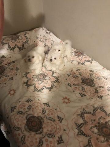 Maltese Puppy For Sale In Griffin Ga Adn 68734 On Puppyfinder