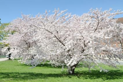 Tree With White Flowers Many White Flowering Trees Bloom Before Leaves Occur On The Branches White Flowering Trees White Flowers Garden Yoshino Cherry Tree