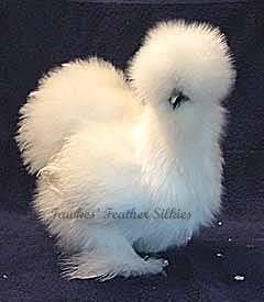 How to Care for Silkie Chickens thumbnail. omg the girls are in love with this chicken!!