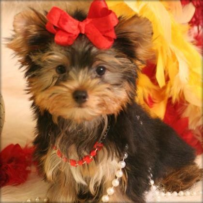 Teacup Yorkshire Terrier A Great Christmas Gift Yorkshirepuppies Yorkshireterrier Yorkshire Terrier Puppies Yorkie Puppy Yorkshire Puppies