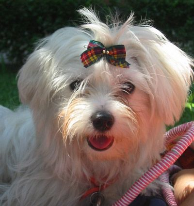 Maltese With Images Maltese Dogs Cute Dogs Puppies