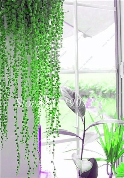 Flowers Succulents Anti Radiation Purify Air 100 Seeds Avec