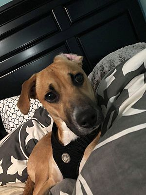 Naperville, IL - Mixed Breed (Medium)  Meet Baby a Dog for